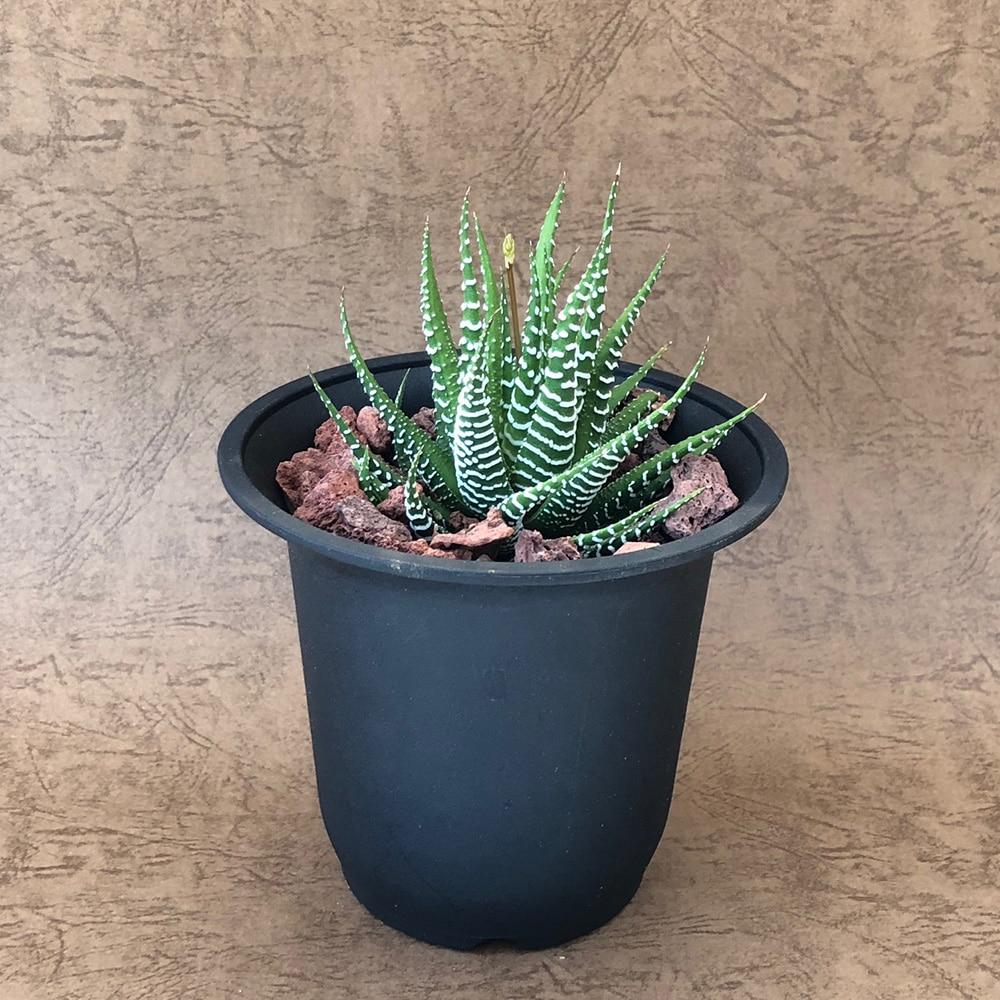 ブラック硬質鉢ハオルチア十二の巻9cm【別送品】