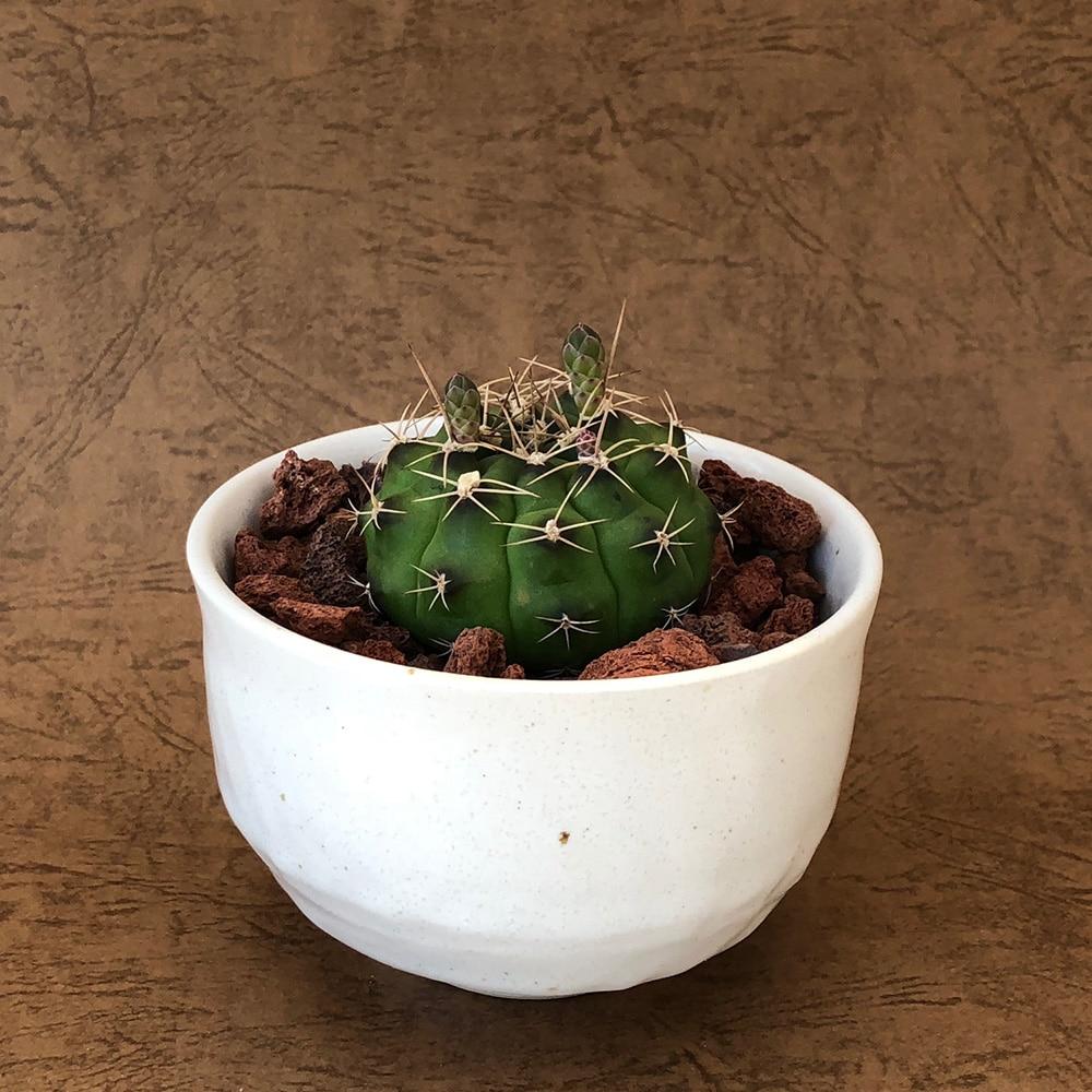 ホワイト陶器鉢翆晃冠10cm【別送品】