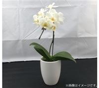おうちファレノ1F(陶器)白系【別送品】【要注文コメント】