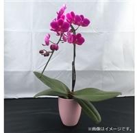 おうちファレノ1F(陶器)ピンク系【別送品】【要注文コメント】