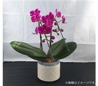 ファレノ 2本立 ピンク系【別送品】【要注文コメント】