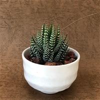 ホワイト陶器鉢ハオルチア十二の巻10cm【別送品】