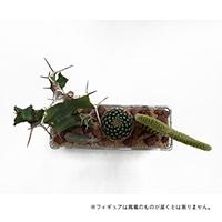 サボテンジオラマ ガラス3個植え【別送品】
