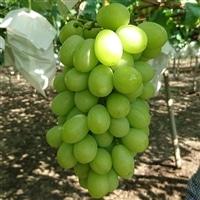 相生ブドウ園 シャインマスカット 1.5kg【別送品】