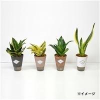 【オンラインショップ限定】Tablisサンスベリア4種セット【別送品】