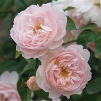 【2018年バラ苗予約販売】ジェントル・ハーマイオニー【別送品】