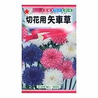 トーホク 切花用八重矢車草(混合)