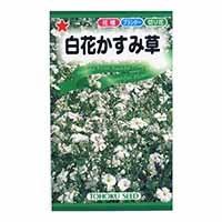 【数量限定】トーホク 白花かすみ草