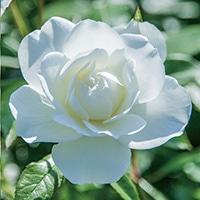 【2018年バラ苗予約販売】アイスバーグ【別送品】