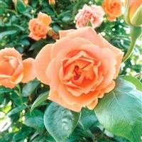 【2017年バラ苗予約販売】ロイヤル サンセット【別送品】