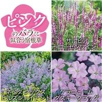 【2017年バラ苗予約販売】ピンクのバラに似合う宿根草セット【別送品】