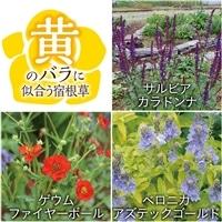 【2017年バラ苗予約販売】黄色いバラに似合う宿根草セット【別送品】