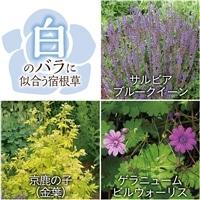 【2017年バラ苗予約販売】白いバラに似合う宿根草セット【別送品】
